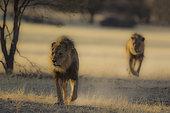 Lion (Panthera leo). Two black-maned Kalahari males, roaming in the dry Auob riverbed in the early morning. Kalahari Desert, Kgalagadi Transfrontier Park, South Africa.