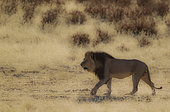 Lion (Panthera leo). Black-maned Kalahari male, roaming in the dry Auob riverbed. Kalahari Desert, Kgalagadi Transfrontier Park, South Africa.