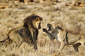 Lion (Panthera leo). Female in heat and black-maned Kalahari male at their first encounter. The initial aggressive behaviour of the female is typical. Kalahari Desert, Kgalagadi Transfrontier Park, South Africa.