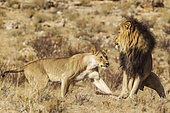 Lion (Panthera leo). Female in heat and black-maned Kalahari male at their first encounter. The male is scared of the initially aggressive behaviour of the female. Kalahari Desert, Kgalagadi Transfrontier Park, South Africa.