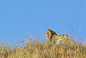 Lion (Panthera leo). Black-maned Kalahari male on a grass-grown sand dune. Kalahari Desert, Kgalagadi Transfrontier Park, South Africa.