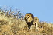 Lion (Panthera leo). Black-maned Kalahari male, roaming on a grass-grown sand dune. Kalahari Desert, Kgalagadi Transfrontier Park, South Africa.