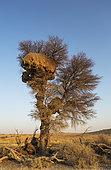 Enorme nid communal de Républicain social (Philetairus socius) dans un Acacia (Acacia erioloba).Désert du Kalahari, Kgalagadi Transfrontier Park, Afrique du Sud.