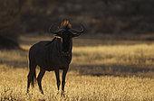 Gnou à queue noire (Connochaetes taurinus), dans la dernière lumière du soir. Désert du Kalahari, Kgalagadi Transfrontier Park, Afrique du Sud.