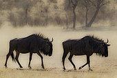 Gnou à queue noire (Connochaetes taurinus), marchant dans le lit asséché de la rivière Auob. Désert du Kalahari, Kgalagadi Transfrontier Park, Afrique du Sud.