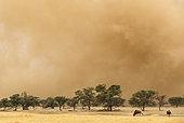 Gnou à queue noire (Connochaetes taurinus), Devant une tempête de sable dans le lit asséché de la rivière Nossob avec des Acacias (Acacia erioloba). Désert du Kalahari, Kgalagadi Transfrontier Park, Afrique du Sud.