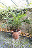 Canary Palm (Phoenix canariensis) in a winter garden, Germany, autumn