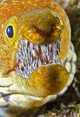 Canary fish. Tiger Moray (Enchelycore anatina), Tenerife, Canary Islands.