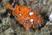 Frogfish (Antennarius nummifer) in reef, Gran Canaria, Canary Islands.