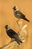 Eurasian Jackdaw (Corvus monedula) on a branch, Danube Delta, Romania