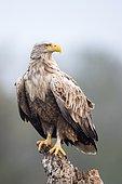 White-tailed Eagle (Haliaeetus albicilla) on a stump, Danube Delta, Romania