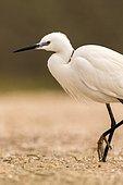Little egret (Egretta garzetta) walking, Danube Delta, Romania