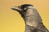 Portrait of Eurasian Jackdaw (Corvus monedula), Danube Delta, Romania