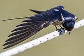 Barn swallow (Hirundo rustica) stretching on a rope, Danube Delta, Romania