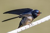 Barn swallow (Hirundo rustica) on a rope, Danube Delta, Romania