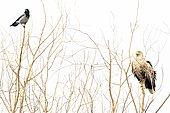 White-tailed eagle (Haliaeetus albicilla) and Hooded Crow (Corvus cornix) on a tree, Danube Delta, Romania,