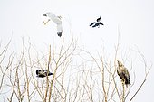 White-tailed eagle (Haliaeetus albicilla) being mobbed by Hooded Crow (Corvus cornix) adult, flying, Danube Delta, Romania,