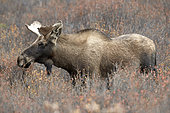 Alaskan Moose (Alces alces gigas) male, Denali National Park, Alaska, USA