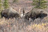 Alaskan Moose (Alces alces gigas) males fighting, Denali National Park, Alaska, USA
