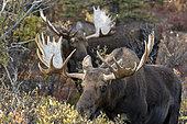 Alaskan Moose (Alces alces gigas) males, Denali National Park, Alaska, USA