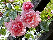 Rosa 'Forez Rose' Obtenteur : P. Croix 1964