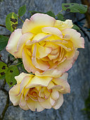 Rosa 'Parure d'Or' Obtenteur : Delbard 1968