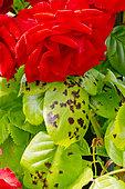 Marsonia, Maladie des rosiers, Rosa 'Ruth Leuwerick' Obtenteur : De Ruiter 1961
