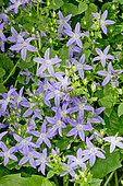 Campanula porscharskyana 'Hirsch Blue'
