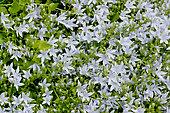 Campanula porscharskyana 'Hisch White'