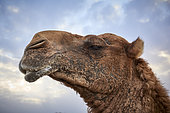 Portrait of a male dromedary (Camelus dromaderus), Saudi Arabia