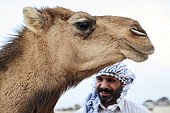 Portrait of a female camel (Camelus dromaderus) and saudi bedouin at background, Saudi Arabia