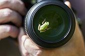 Savigny tree frog (Hyla savignyi) on photographer's lens, Saudi Arabia