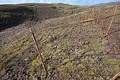 Protection des Cactus Tête à l'Anglais (Melocactus intortus) sur la réserve géologique, La Désirade, Guadeloupe