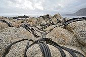 """Kelp """"Cochayuyo"""" (Durvillaea antarctica) stranded on the coast, Quintay, V Region of Valparaiso, Chile"""
