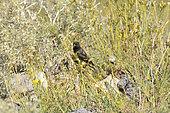Yellow-rumped Siskin (Spinus uropygialis), Andino Juncal Park, Valle de Juncal, V Region of Valparaiso, Chile