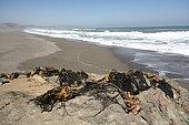 "Drying of brown algae ""Cochayuyo"" (Durvillaea antarctica) for feeding, Lipimavida, Vichuquén Coast, VII Region del Maule, Chile"