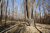 Forêt d'eucalyptus incendiée, Chili, environs de Vichuquén, VII Region del Maule, Chili