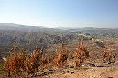 Forêt de pins et eucalyptus incendiée, Chili, environs de Vichuquén, VII Region del Maule, Chili