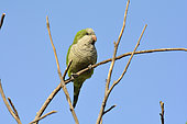 Monk Parakeet (Myiopsitta monachus) on a branch, introduced species in Chile, Valparaiso, V Region of Valparaiso, Chile
