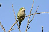 Conure veuve (Myiopsitta monachus) sur une branche, espèce introduite au Chili, Valparaiso, V Region de Valparaiso, Chili / Monk Parakeet
