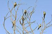 Conure veuve (Myiopsitta monachus) groupe sur un arbre, espèce introduite au Chili, Valparaiso, V Region de Valparaiso, Chili