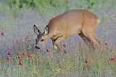 European roe deer (Capreolus capreolus) in the field, Biosphere Reserve Oberlausitzer Heide- und Teichlandschaft, Saxony, Germany, Europe