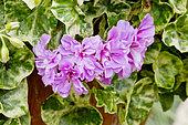 Pelargonium 'Ubod Surprise'