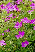 Geranium oxonianum 'Summer Surprise'