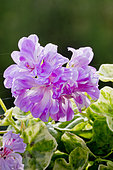 Pelargonium 'Wood's Surprise' in bloom in a garden