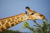Giraffe (Giraffa camelopardalis). Madikwe Game Reserve. North West Province. South Africa