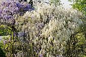 Wisteria formosa, Wisteria sinensis 'Flore Pleno'