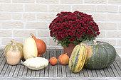 Récolte de courges variées dans un potager biologique et chrysanthème, automne, Pas de Calais, France