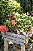 Begonia flowers in a wooden bin on a garden terrace, summer, Pas de Calais, France