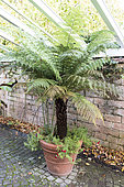 Tree fern in a pot on a garden terrace, autumn, Pas de Calais, France